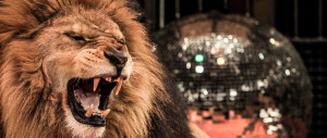 Lion roaring, with disco ball in the background