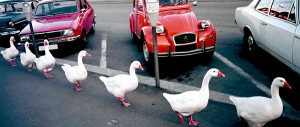 Vintage photo of a row of white geese walking down a sidewalk next to cars